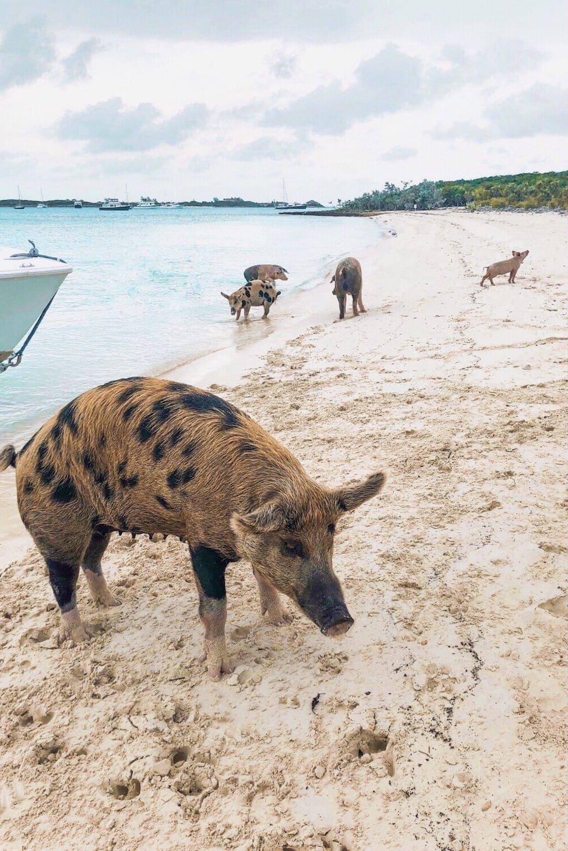 Things to Do in Exuma: Pig Beach