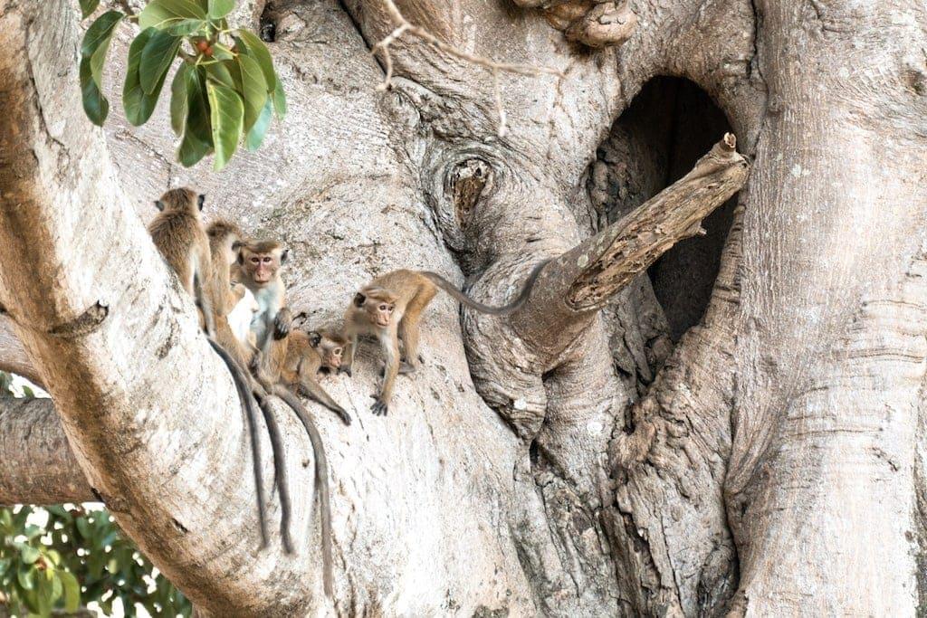 Safari in Sri Lanka: Small Monkeys